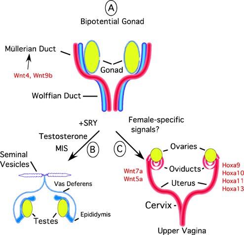 testosterone inhibiting foods